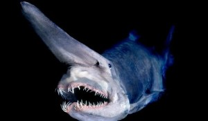 goblin-shark1