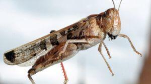 964642-locusts